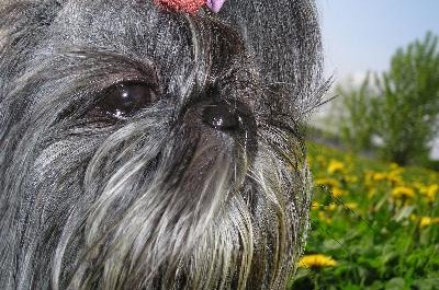 The Shih Tzu's muzzle is shorter and more highly set than the Lhasa's.