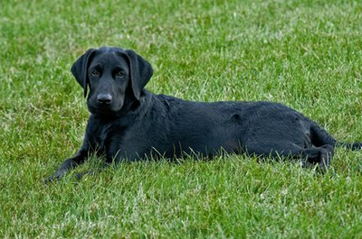 At 7 months, a black Lab is not quite yet an adult dog.
