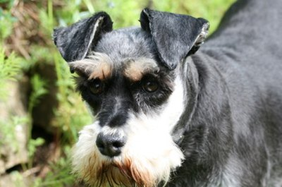 "The schnauzer is called ""the thinking person's dog."""