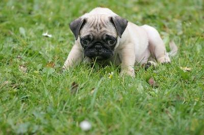 Praise your pug puppy like mad when he learns something new.
