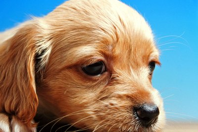 Keep your puppy's ears clean to prevent ear infections.
