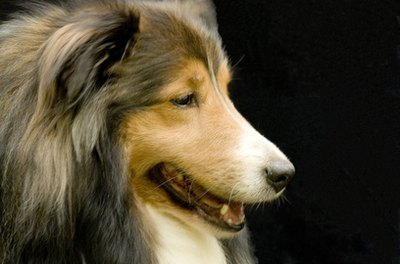 Shelties colors can be black, merle or sable with a mix of white and/or tan colors.