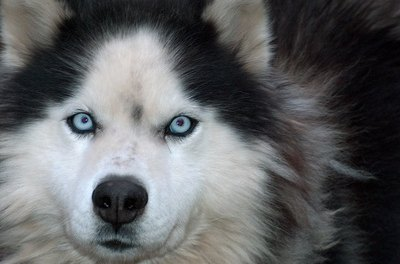 A husky's fluffy fur helps regulate its body temperature.