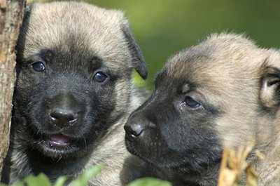 Puppies naturally communicate through barks and growls.