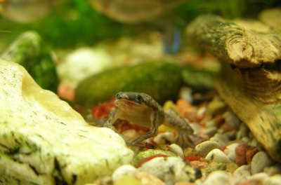 The playful behavior of dwarf African frogs makes them an aquarium favorite.