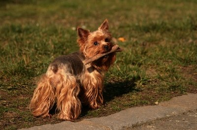 Skin irritations can be painful for your yorkie.