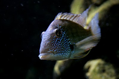 You never know when a dominant cichlid might take off after another fish.