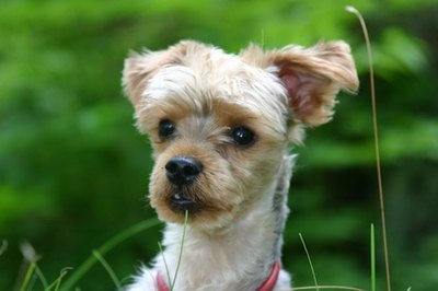 This Yorkie-poo is a handsome, alert little boy.