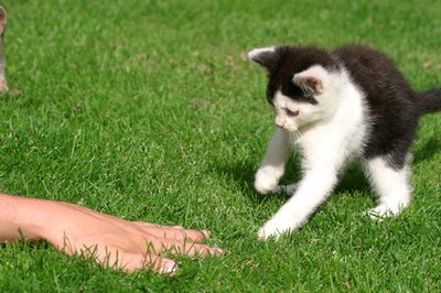 Playful kittens will attack anything as they mimic hunting techniques.