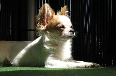 Chihuahuas with white fur are particularly prone to tear stains because the pigment in the tears gradually dyes the light-colored fur.