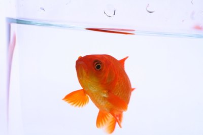 Your goldfish would be happiest with another goldfish.