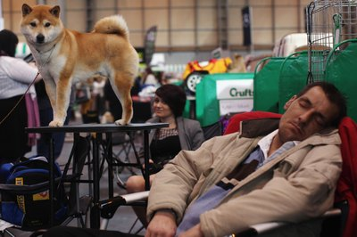 Shiba Inus have a big dog's attitude in a small dog's body.
