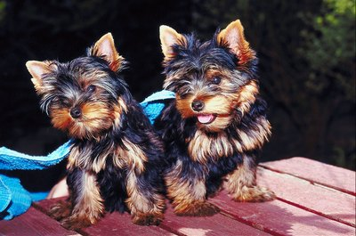 The tiny size of Yorkie puppies makes them especially vulnerable to worms.