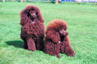 Poodles require frequent grooming to prevent mats.