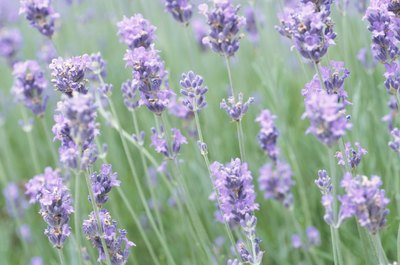 The beautiful, light purple flowers of the lavender plant shouldn't harm your kitty.