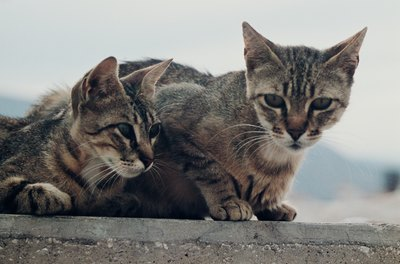 A neutered cat is less likely to be aggressive toward a newcomer.