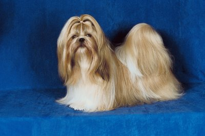 The Shih Tzu's long coat requires daily attention and heavy grooming.