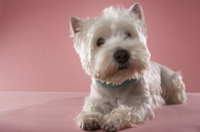 "Widdows says, ""Most Westies will get dirty between baths no matter how often they are bathed. It is a Westie's duty to see just how dirty it is possible to get before Mom or Dad catches them."""