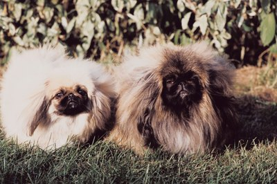 A pekingese without a haircut needs daily to weekly grooming.