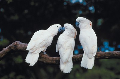 Cockatoos can be quite social.