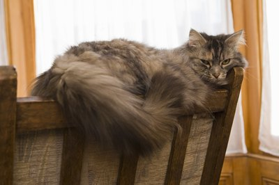 Many long-haired cats have an extra-thick layer of fur around their necks called a ruff, frills or a bib and resemble a lion's mane.