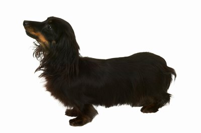 The long-haired mini dachshund is a more compact version of the full-size weenie dog.