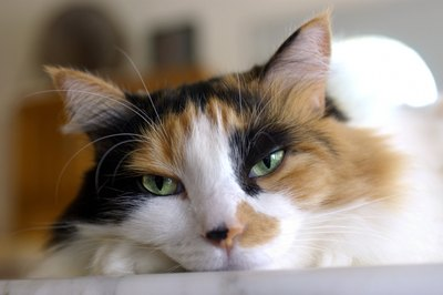 This pretty tortie calico is probably a female.