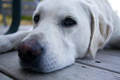 Labs are among the breeds most frequently diagnosed with hypothryoidism.