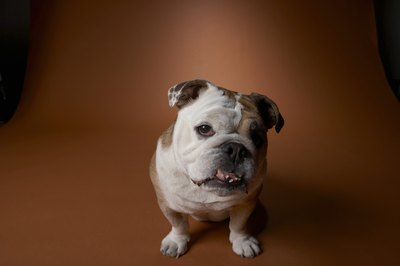 The English bantam bulldog is a miniature version of the bulldog breed.