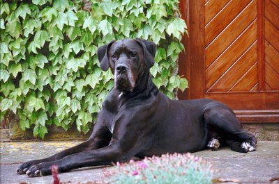 "Large dogs that sleep on hard surfaces may develop hard, gray pressure sores called ""hygromas."""