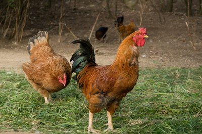 The droppings from a few backyard chickens can enrich your garden compost.