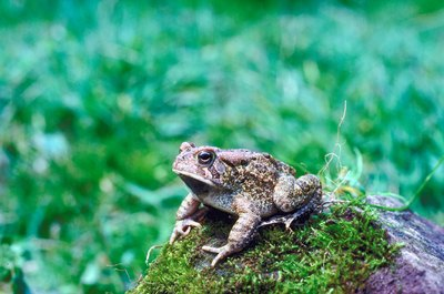 Most native U.S. toads are beneficial in the landscape. Cats quickly learn to leave them alone.