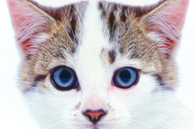 Dark discoloration inside your kitty's ears could be an infestation of ear mites.