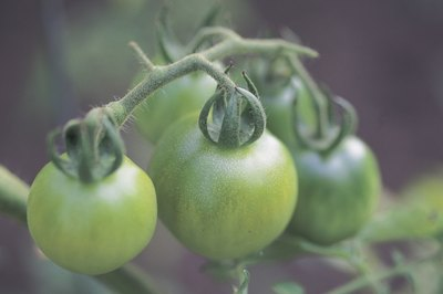 Green tomatoes are good sources of vitamin C, vitamin A and potassium.