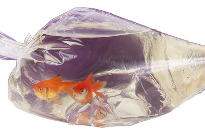 Floating new goldfish in the bag gives the water time to change temperature.
