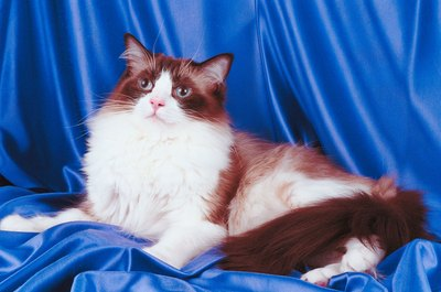 A bi-color ragdoll cat has lots of white on his legs, face and chest.