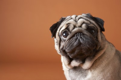 Keep your pug's skin smelling sweet -- like his disposition.