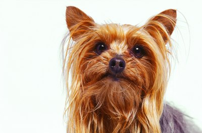 Fruit in moderation is suitable in your Yorkie's diet.