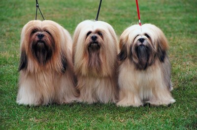 Style the Lhasa apso's long bangs around the eyes to assist their long eyelashes in protecting the eyes.