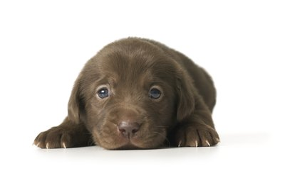 Wait until your puppy is at least 2 months old before training.