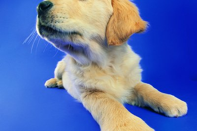 How to Care for Newborn Yellow Lab Puppies - Pets