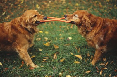 Don't be the tug toy in the war between your dogs.