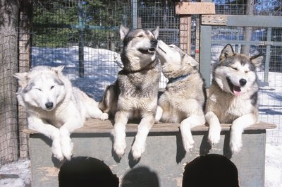 The Siberian Husky is known for its easygoing nature.