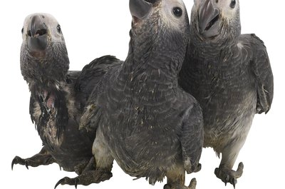 Captive-born African greys are less likely to have worms.