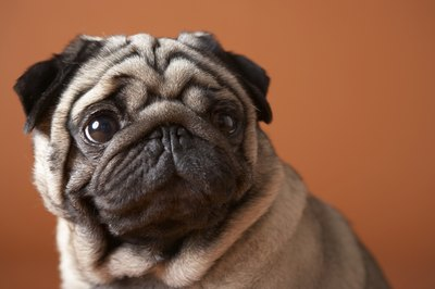 An undesirable breed in South Korea, pugs are brought to the United States for adoption.