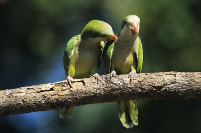 These wild Brazilian parakeets can handle the heat and cold in their native climate.