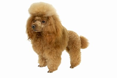 "People mix all kinds of breeds with poodles to get a hybrid ""oodle"" dog."