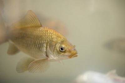 If your goldfish has gone brown, you may be able to restore his former brilliance with some TLC.