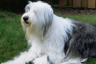 Old English sheepdogs and cats can share close friendships.