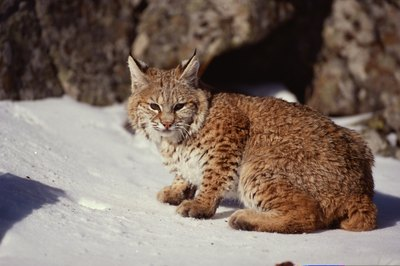 The American bobtail cat doesn't look exactly like the wild version, but there's a resemblance.
